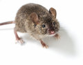 Mouse little over a grey background Royalty Free Stock Photo