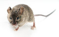 Mouse little over a grey background Stock Photography