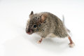 Mouse little over a grey background Stock Images