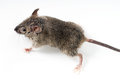 Mouse little over a grey background Stock Image