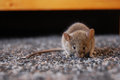 Mouse s secret why is it that when a is poisoned it comes out that you see it die Royalty Free Stock Image