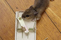 Mousetrap with dead mouse on a wooden floor Royalty Free Stock Photography