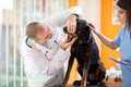 Mouth checkup of Great Done dog in vet clinic Royalty Free Stock Photo