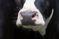 Mouth of a cow close up black and with patterned Royalty Free Stock Images