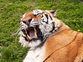 Mouth and fangs of a Bengal Tiger Royalty Free Stock Photo
