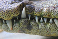 Mouth and teeth a crocodile close up of the Royalty Free Stock Photography