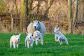 Moutons de source Images libres de droits
