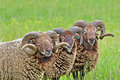 Moutons rares de race Photo stock
