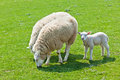 Moutons sur l'herbe verte Photo stock