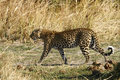 On the move leopards stalk dried african grass veld in hope for an easy meal Royalty Free Stock Images