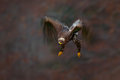 Moving action scene flying dark brawn bird of prey steppe eagle aquila nipalensis with large wingspan slovakia europe Stock Photography