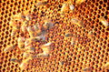 Moving bees on honeycomb frame Royalty Free Stock Photo