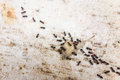 Moving a leaf lot of ants traveling in row on the pavement Royalty Free Stock Photo