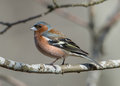 Mr Chaffinch Royalty Free Stock Photo