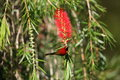 Mrs. Gould's Sunbird Royalty Free Stock Photo