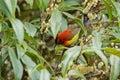 Mrs Gould`s Sunbird in orange yellow with metallic tail feeding Royalty Free Stock Photo