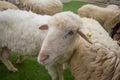 Mrs sheep beautiful in thailand Stock Photo