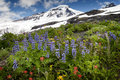 Mt baker wildflowers beautiful such as yellow asters purple lupine and indian paintbrush dominate the landscape on the heliotrope Royalty Free Stock Images