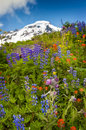 Mt baker wildflowers beautiful such as yellow asters purple lupine and indian paintbrush dominate the landscape on the heliotrope Stock Photos