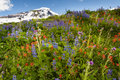 Mt baker wildflowers beautiful such as yellow asters purple lupine and indian paintbrush dominate the landscape on the heliotrope Stock Photo