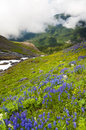 Mt baker wildflowers beautiful such as yellow asters purple lupine and indian paintbrush dominate the landscape on the heliotrope Stock Images