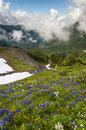 Mt baker wildflowers beautiful such as yellow asters purple lupine and indian paintbrush dominate the landscape on the heliotrope Stock Photography