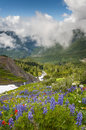 Mt baker wildflowers beautiful such as yellow asters purple lupine and indian paintbrush dominate the landscape on the heliotrope Stock Image