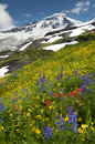 Mt. Baker Wildflowers Royalty Free Stock Photo
