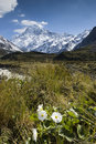 Mt cook with lily or buttercups national park new zealand in the hooker valley mount Royalty Free Stock Photo