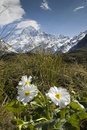 Mt cook with lily or buttercups national park new zealand in the hooker valley mount Royalty Free Stock Image
