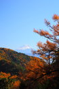Mt. Fuji and Japanese larch Stock Photography