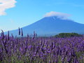 Mt fuji and lavender at lakeside of kawaguchi the fujikawaguchiko herb festival is one the biggest events the year it is held in Royalty Free Stock Image