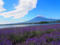 Mt fuji and lavender at lakeside of kawaguchi the fujikawaguchiko herb festival is one the biggest events the year it is held in Royalty Free Stock Photos