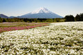 Mt fuji and phlox garden Royalty Free Stock Image