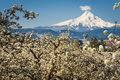 Mt hood vally and apple orchards spring in oregon Stock Photos