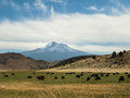 Mt shasta and grazing cattle graze in a field below in california Royalty Free Stock Photography
