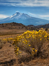 Mt shasta and rabbitbrush light snow remains at the end of summer on in california with blooming in the surrounding desert Stock Image