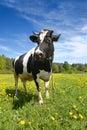 Mucca in bianco e nero Immagini Stock