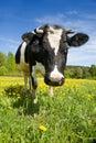 Mucca su un prato verde Fotografie Stock Libere da Diritti
