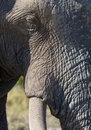 Mud covered Elephant - Botswana Royalty Free Stock Image