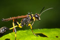 Mud dauber a high magnification dirt digger wasp Stock Photos