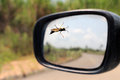 Mud dauber wasp standing on car window with left side mirror in background Stock Photo