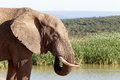 Mud Time - African Bush Elephant