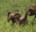Muddy baby elephant in green grass with mother the Royalty Free Stock Photography