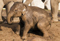 Muddy baby elephant playing Royalty Free Stock Photos