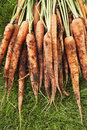 Muddy carrots on grass Royaltyfria Foton