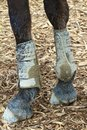 Muddy feet close up of two front horse legs in protective gear standing on wood shavings Stock Photos