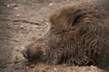 Muddy head of wild boar lying asleep a Stock Photo