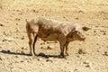Muddy pig on dirt ground, Italy Royalty Free Stock Photo