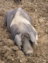 Muddy pig in field Royalty Free Stock Photo